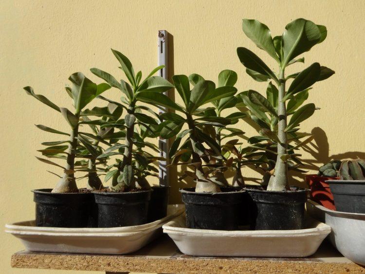 Оптимальные условия для выращивания адениумов