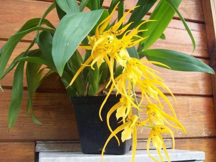 Ада - элитная орхидея