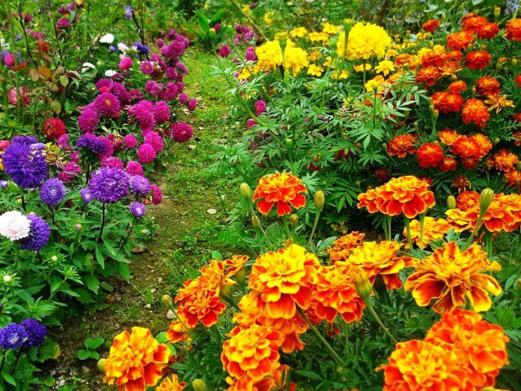 Бархатцы - неприхотливые цветы