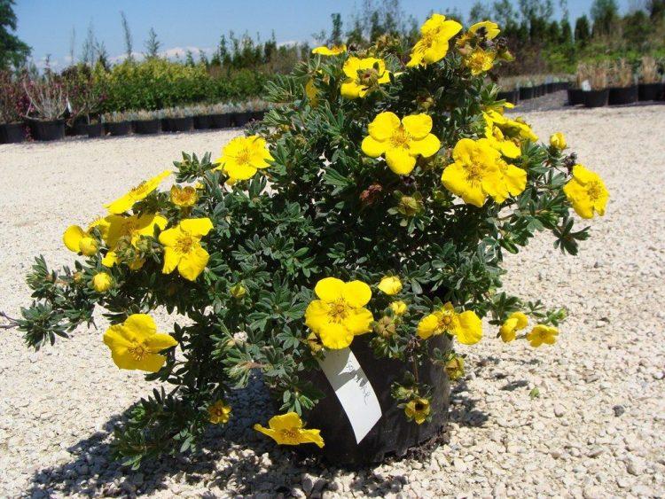 Лапчатка кустарниковая - не высокое растение