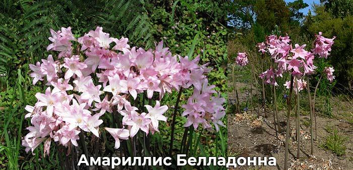Амариллис белладонна