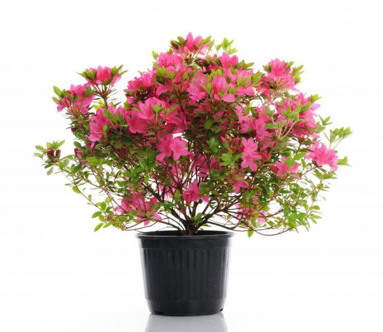 Азалия лидер среди комнатных растений