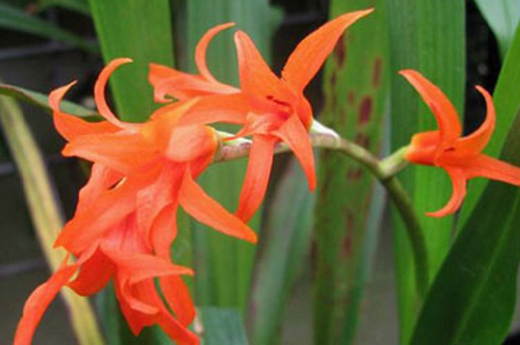 Ада - лучшая орхидея