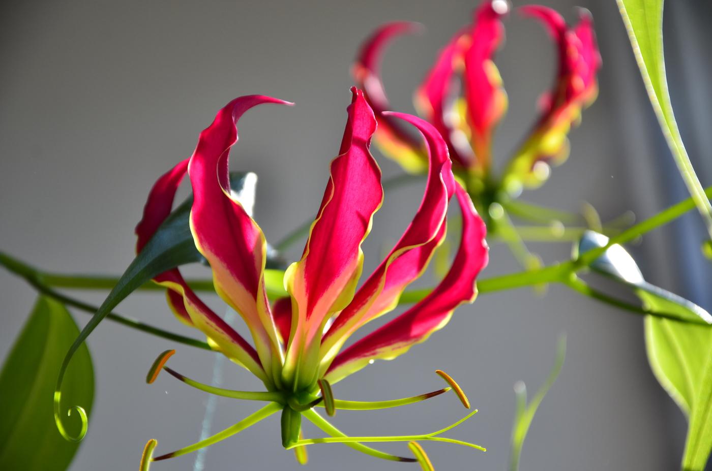 Глориоза лекарственная - ядовитое растение