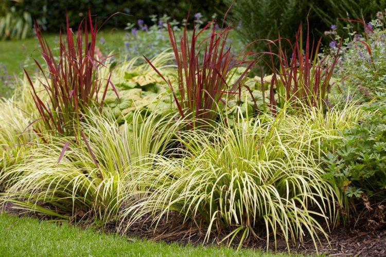 Аир злаковидный - многолетнее растение для сада