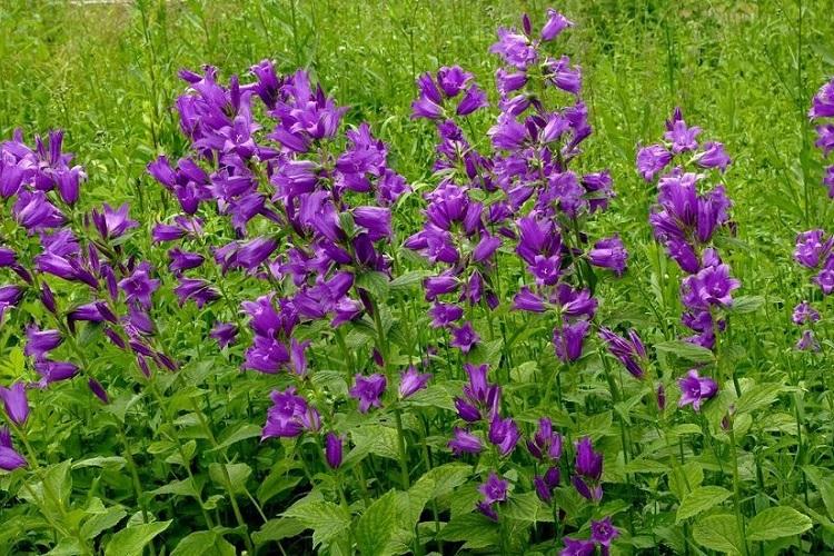Использование аденофоры в садовых комбинациях