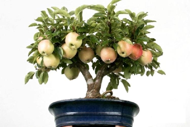 Укоренение саженцев яблоневого дерева