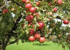 Выращивание яблони из семян