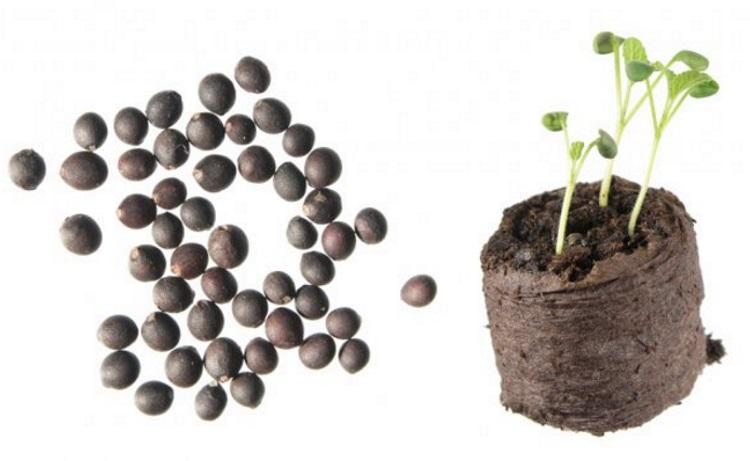 Когда сеять сальвию на рассаду