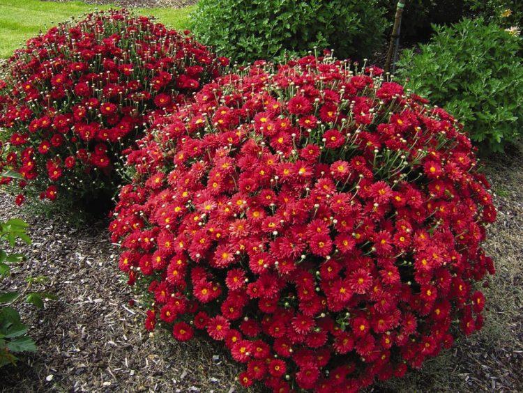 Хризантема кустовая: особенности