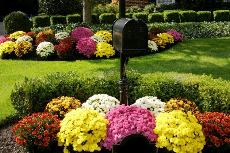 Виды хризантемы
