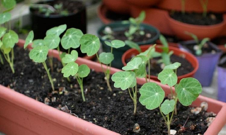 Выращивание рассады настурции