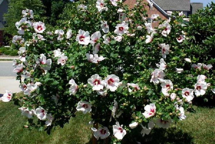 Гибискус садовый: обрезка растения