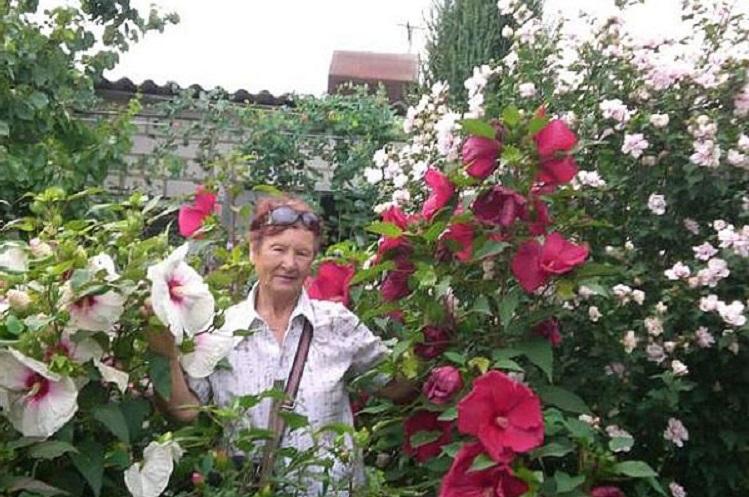 Заболевания гибискуса садового