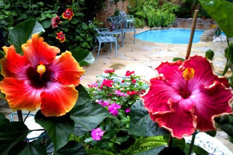 Самое интересное о гибискусе садовом