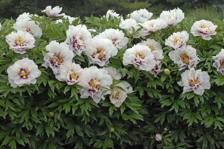 Описание цветка пиона Джулия Роуз