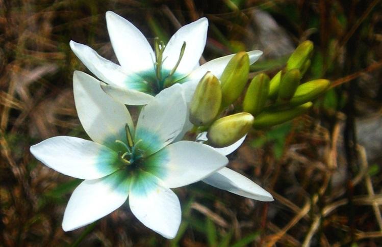 Перезимовка цветка иксия