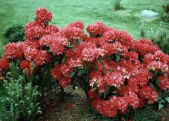 Махровые хризантемы: выращивание