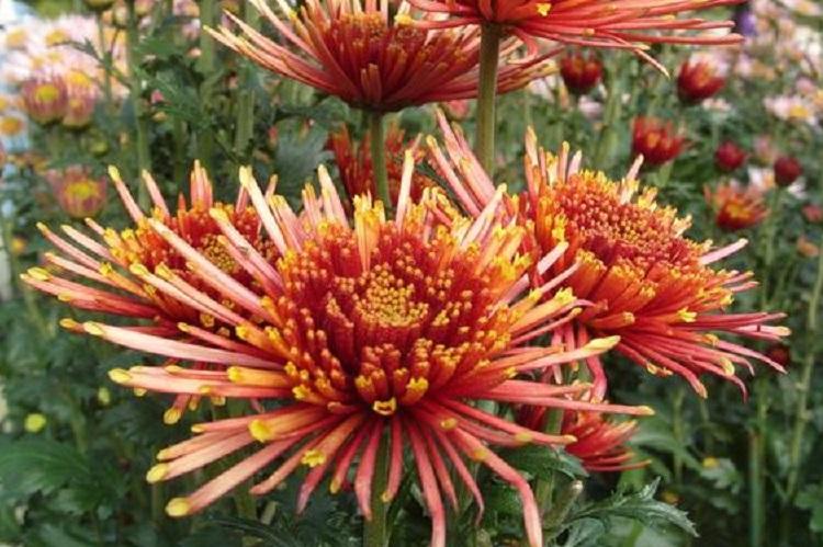 Хризантема махровая: правила посадки