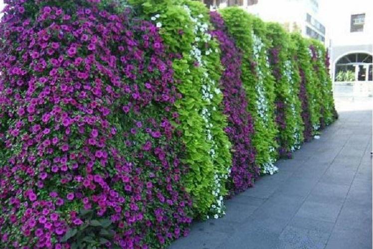 Уход за рассадой ипомеи пурпурной