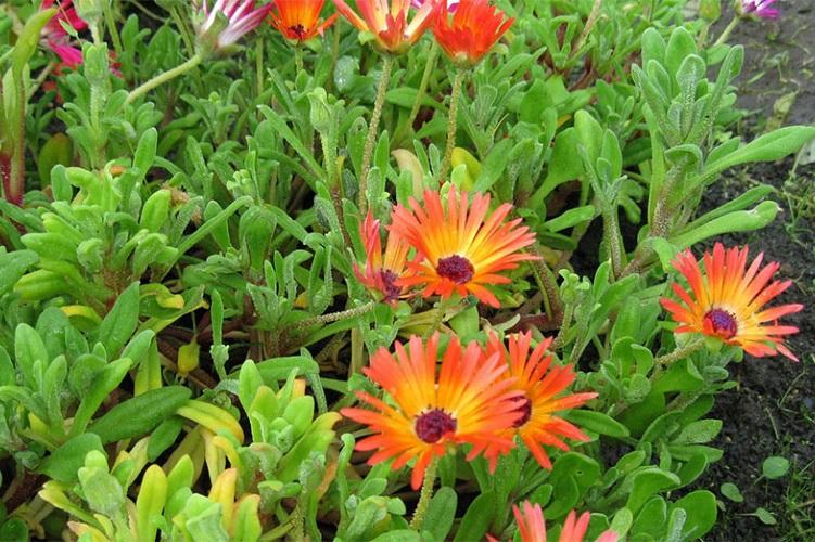 Сорта цветка мезембриантемум