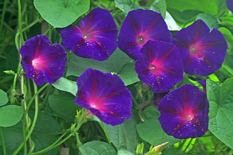 Ипомея пурпурная: описание растения
