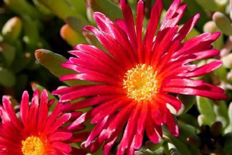 Полив и удобрение цветка мезембриантемум