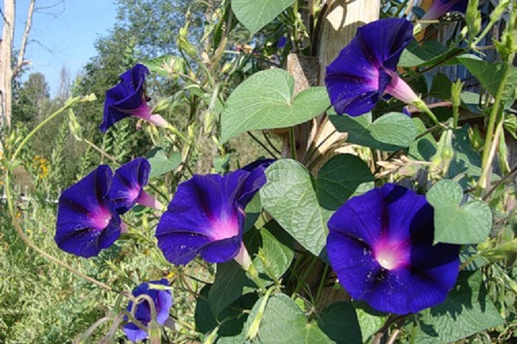 Ипомея пурпурная: посадка