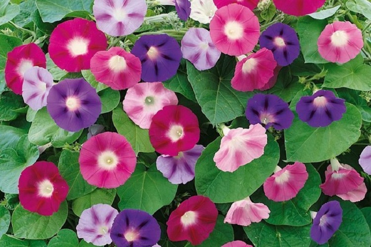 Ипомея пурпурная: борьба с болезнями и вредителями